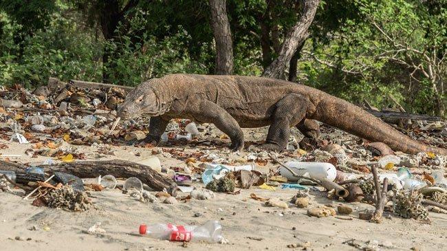 plastic waste on a beach with a komodo dragon